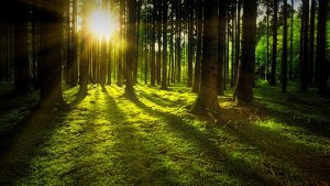 Trees in a Forest with sun shining through